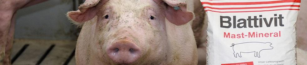 Mastschweine mit Mineralfutter