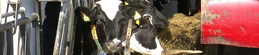 Kühe mit Mineralfutter
